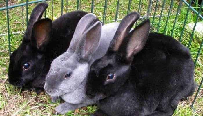 Coneja creada como interés amoroso de bugs bunny