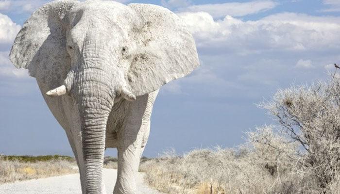 soñar con elefante blanco