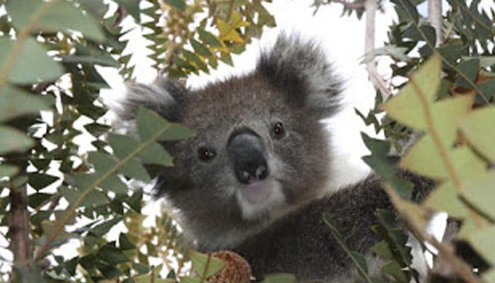 soñar con koala gris