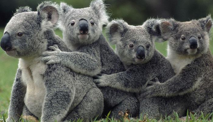 soñar con muchos koalas