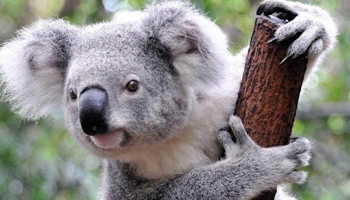 soñar con koala en su hábitat