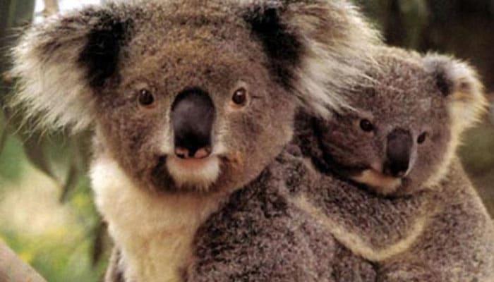 soñar con koala mamá