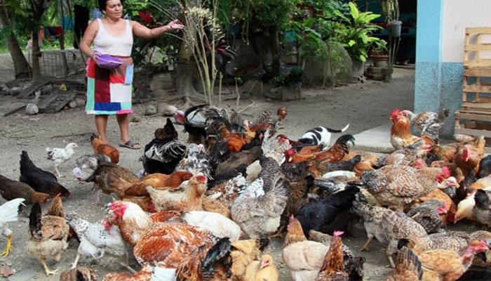 soñar con muchas gallinas