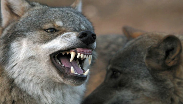soñar con lobos rabiosos