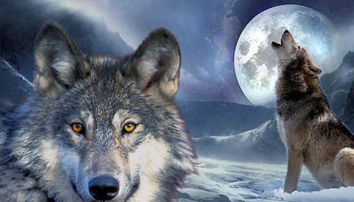 soñar con lobos mansos