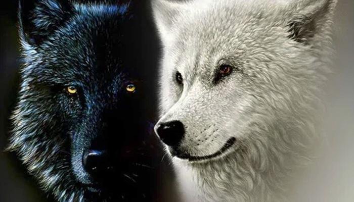 soñar con lobos blancos y negors