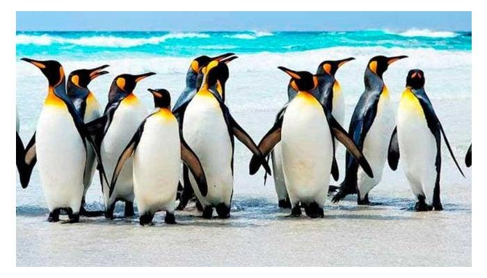 Soñar con muchos pingüinos
