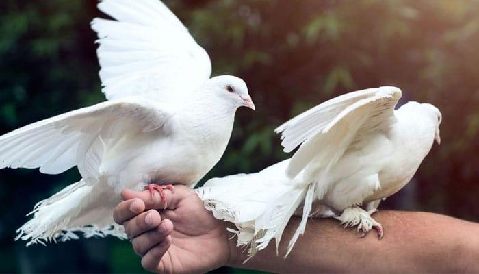 soñar con palomas blancas volando
